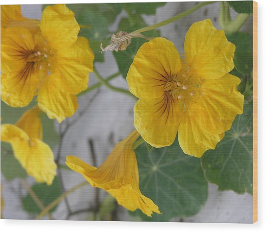 Yellow Nasturtium Wood Print