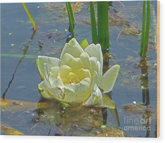 Yellow Nymphaea Alba Damselfy Wood Print