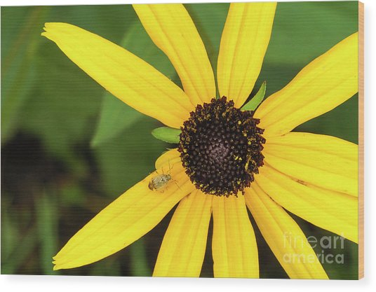 Yellow Petaled Flower With Bug Wood Print