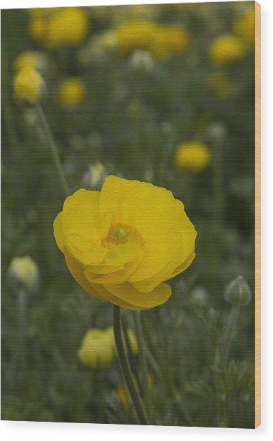 Yellow Ranunculus Flowers Wood Print