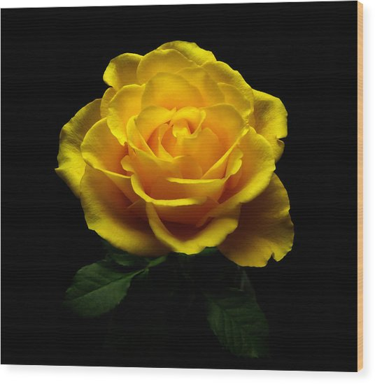 Yellow Rose 4 Wood Print