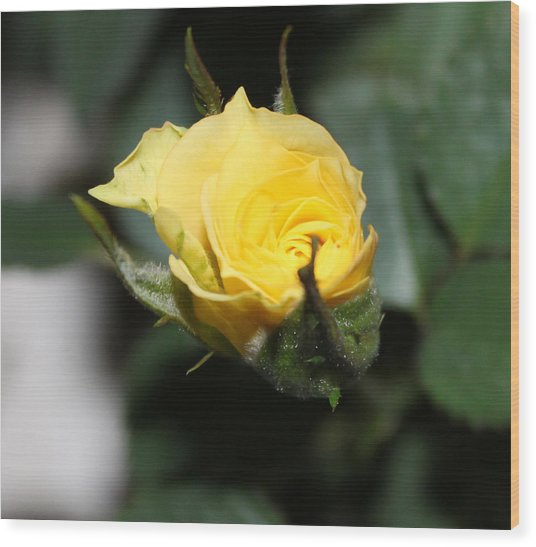 Yellow Rose Bud Wood Print by Evelyn Patrick