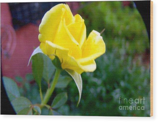Yellow Rose Bud Wood Print by Rod Ismay