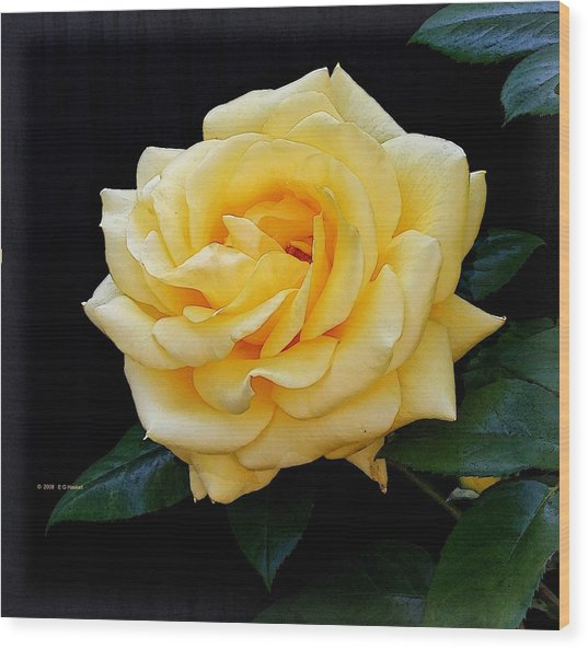 Yellow Rose Wood Print by Edward Haskell