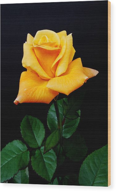 Yellow Rose Wood Print