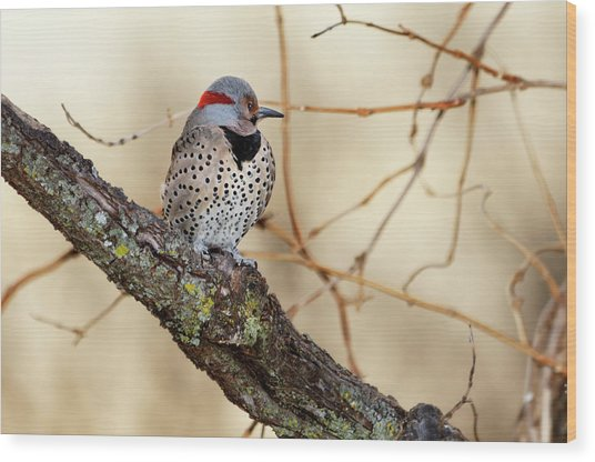 Yellow-shafted Northern Flicker Wood Print