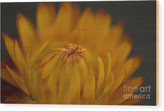 Yellow Strawflower Blossom Close-up Wood Print