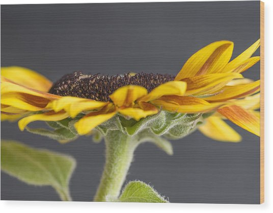 Yellow Sunflower Fine Art Wall Decor Wood Print