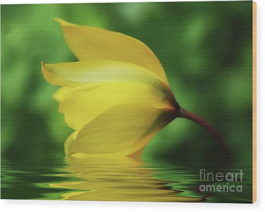 Yellow Tulip Wood Print