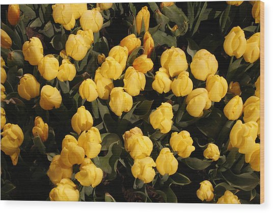 Yellow Tulips Wood Print by Jeff Porter
