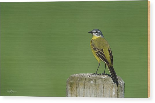 Yellow Wagtail Perching On The Roundpole Wood Print