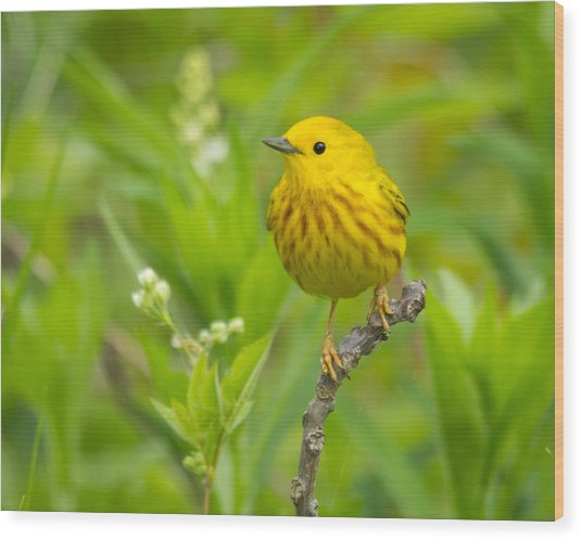 Yellow Warbler Wood Print
