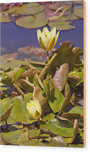 Yellow Water Hyacinth Wood Print
