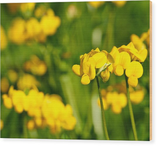 Yellow Wild Flowers Wood Print by Edward Myers