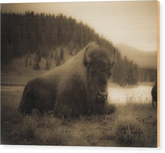 Yellowstone Bison 2 Wood Print by Patrick  Flynn