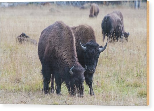 Wood Print featuring the photograph Yellowstone Bison by Jennifer Ancker