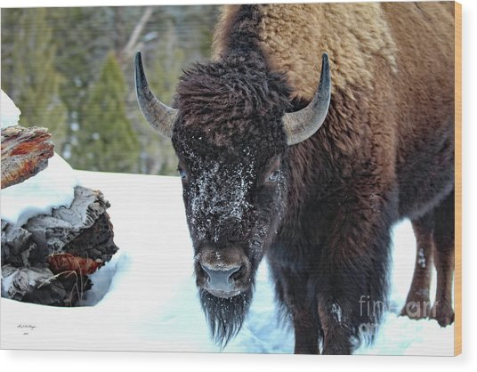 Yellowstone Buffalo Stare-down Wood Print
