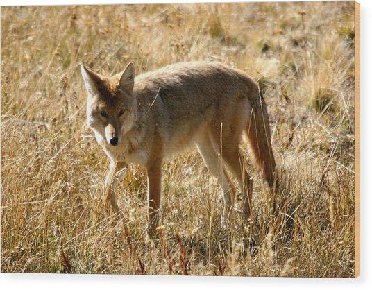 Yellowstone Cyote Wood Print by Dave Clark