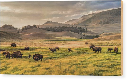 Yellowstone National Park Lamar Valley Bison Grazing Wood Print