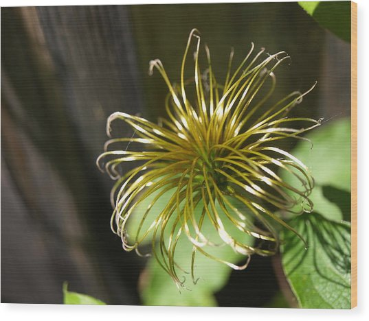 Yesterday's Bloom - 1 - Clematis Wood Print
