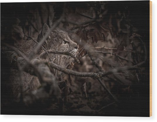 Yosemite Bobcat  Wood Print