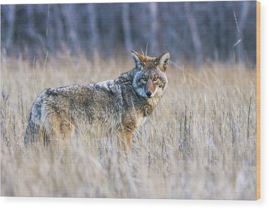 Yosemite Valley Coyote Wood Print