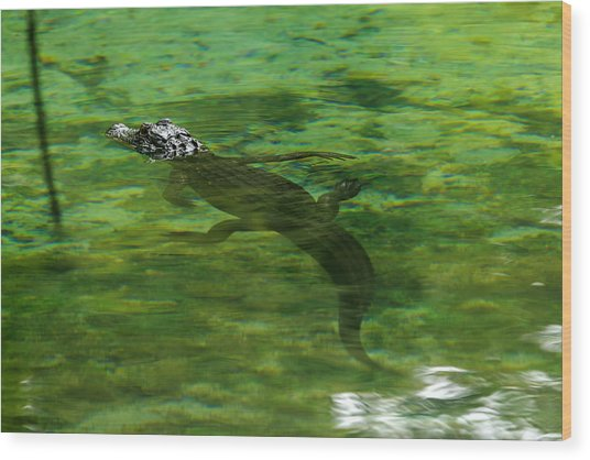 Young Alligator Wood Print
