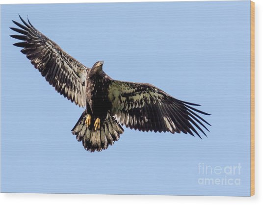 Young Bald Eagle Flight Wood Print