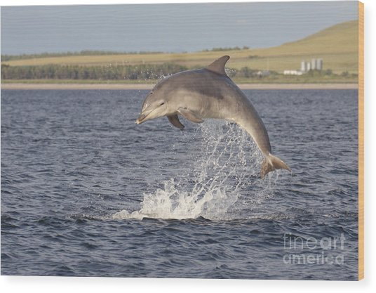 Young Bottlenose Dolphin - Scotland #13 Wood Print