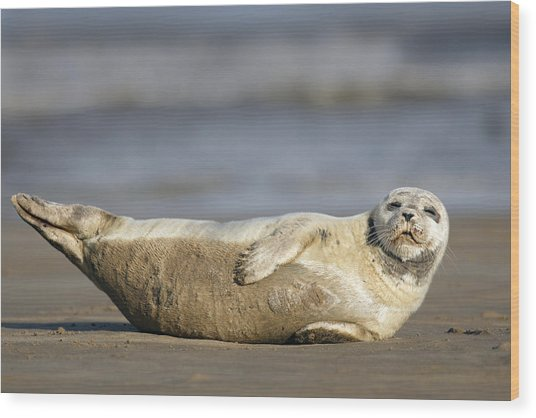 Young Common Seal Sleeping On The Beach Wood Print