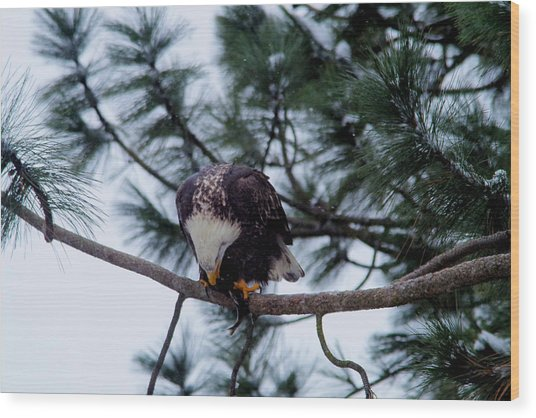 Young Eagle Devouring A Fish Wood Print