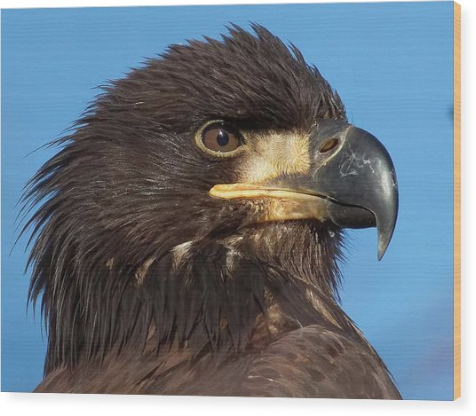 Young Eagle Head Wood Print