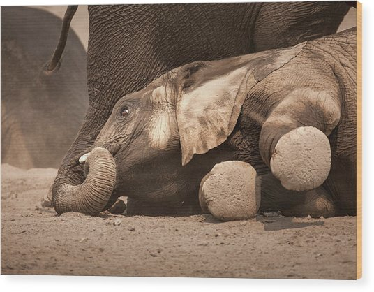 Young Elephant Lying Down Wood Print