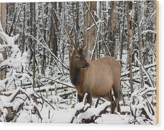 Young Elk Wood Print