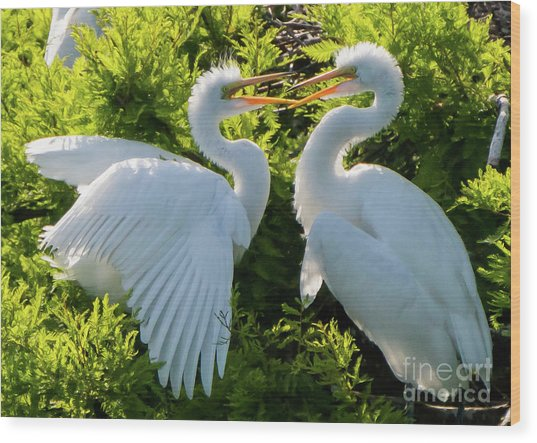 Young Great Egrets Playing Wood Print