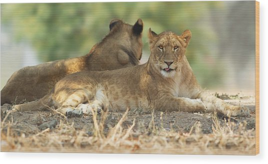 Young Lioness Wood Print by Yuri Peress