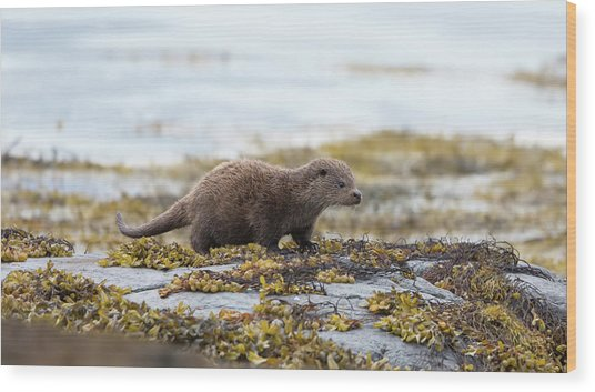 Young Otter Wood Print
