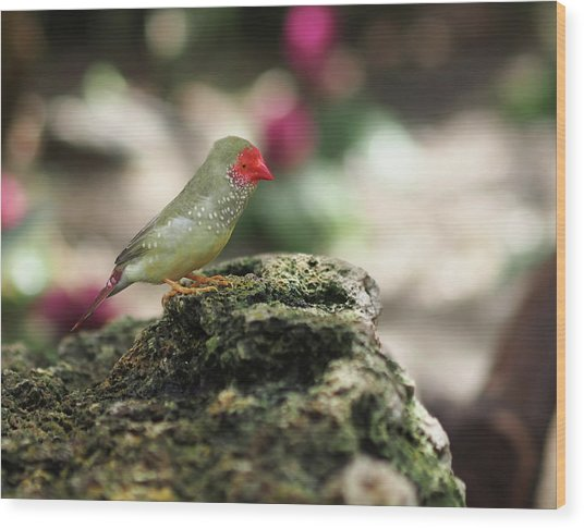 Young Star Finch Wood Print