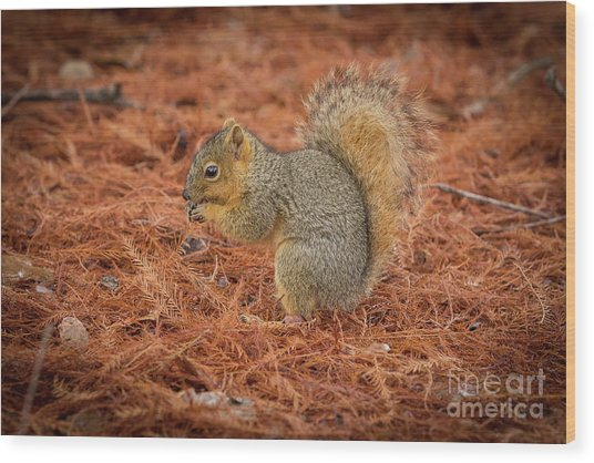 Yum Yum Nuts Wildlife Photography By Kaylyn Franks     Wood Print