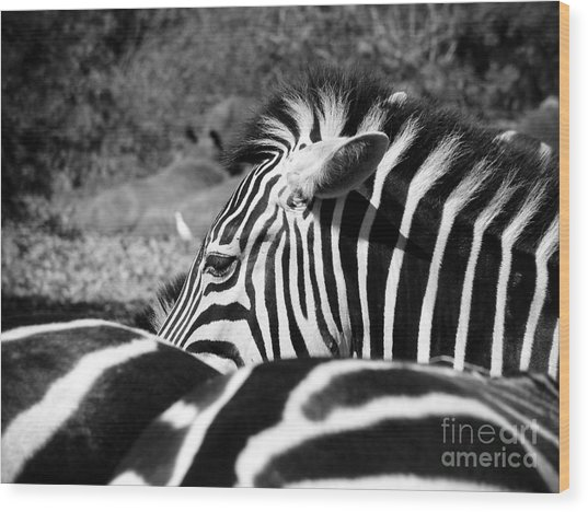 Zebra Incognito Wood Print by Tonya Laker