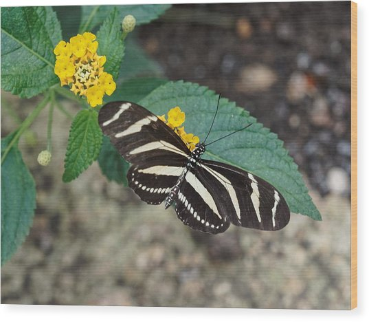 Wood Print featuring the photograph Zebra Longwing Butterfly - 1 by Paul Gulliver