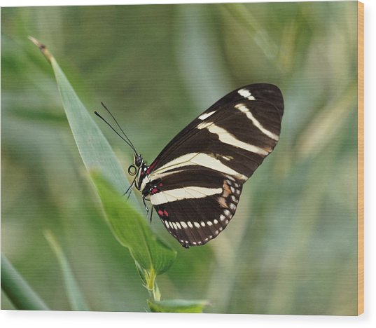 Wood Print featuring the photograph Zebra Longwing Butterfly - 2 by Paul Gulliver