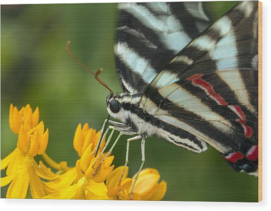 Zebra Swallowtail Drinking On The Fly Wood Print