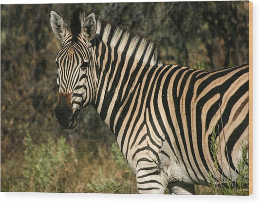 Zebra Watching Wood Print
