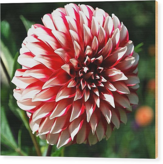 Zesty Dahlia Wood Print