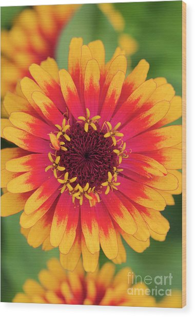 Zinnia Elegans Zowie Yellow Flame Flower  Wood Print