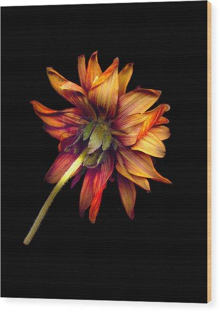 Zinnia Wood Print by Geoff Ault