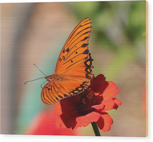 Zinnia With Butterfly 2669 Wood Print