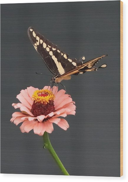 Zinnia With Butterfly 2702 Wood Print