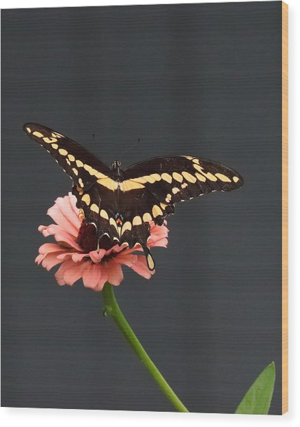 Zinnia With Butterfly 2708  Wood Print